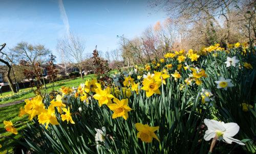 Spring Daffodils Cheadle
